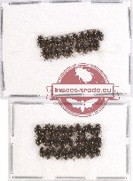 Elmidae sc. lot no. 13 (50 pcs)