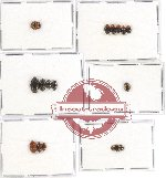 Scientific lot no. 40 Erotylidae (15 pcs)