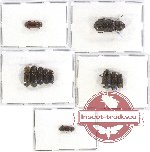 Bostrichidae Scientific lot no. 15A (10 pcs)