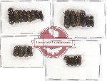 Bostrichidae Scientific lot no. 16 (23 pcs)