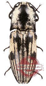 Elateridae sp. 2 (2 pcs)