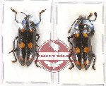 Scientific lot no. 38 Erotylidae (2 pcs A2)