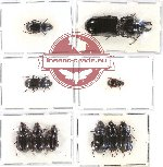 Scientific lot no. 265 Carabidae (12 pcs A, A2)
