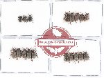 Scientific lot no. 200 Chrysomelidae (18 pcs)