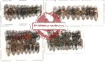 Scientific lot no. 3 Elateridae (60 pcs)