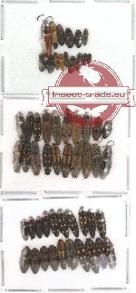Scientific lot no. 4 Elateridae (55 pcs)
