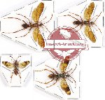 Scientific lot no. 221 Hymenoptera (Pompilidae spp.) (4 pcs)