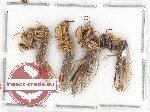 Scientific lot no. 2A Mantispidae (4 pcs - 2 pcs A2)