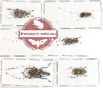 Scientific lot no. 67 Anthribidae (5 pcs - 1 pc A2)