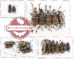 Scientific lot no. 69 Anthribidae (19 pcs)