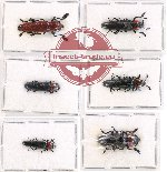 Scientific lot no. 19A Languridae (6 pcs)