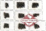 Bostrichidae Scientific lot no. 13 (28 pcs)