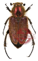 Amphicoma sp. 1