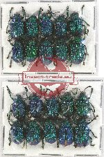 Scientific lot no. 229A Chrysomelidae (20 pcs)