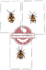 Scientific lot no. 207 Chrysomelidae (3 pcs)