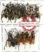 Scientific lot no. 176 Hymenoptera (11 pcs - 6 pcs A2)