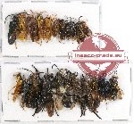 Scientific lot no. 179 Hymenoptera (21 pcs - 10 pcs A2)