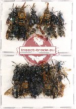 Scientific lot no. 177 Hymenoptera (29 pcs A, A-, A2)