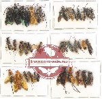 Scientific lot no. 160 Hymenoptera (36 pcs)