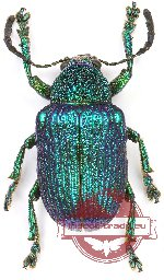 Chrysomelidae sp. 62 (10 pcs)
