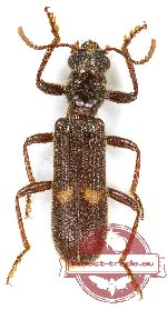 Cleridae sp. 32 (A-)