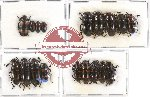 Scientific lot no. 65 Erotylidae (18 pcs - 4 pcs A2)