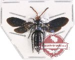 Scoliidae sp. 36 (5 pcs)