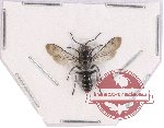 Hymenoptera sp. 103 (5 pcs)