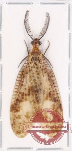 Corydalidae sp. 10 (A2)