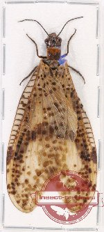 Corydalidae sp. 10