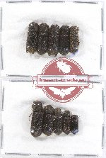 Bostrichidae Scientific lot no. 27 (10 pcs)