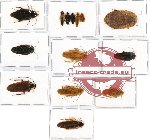 Scientific lot no. 1CC Blattodea sp. mix (14 pcs - 3 pcs A2)