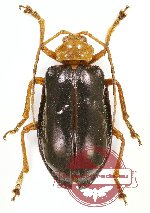 Chrysomelidae sp. 62A