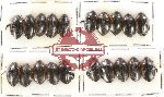 Scientific lot no. 38 Dytiscidae (20 pcs)