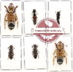 Scientific lot no. 104 Staphylinidae (6 pcs)