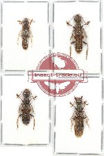 Scientific lot no. 103 Staphylinidae (4 pcs)