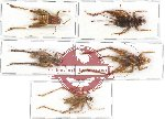 Scientific lot no. 21 Orthoptera (Gryllidae) (5 pcs A2)