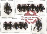 Scientific lot no. 40 Dytiscidae (13 pcs)