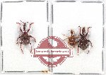 Scientific lot no. 1AB Attelabidae (3 pcs)