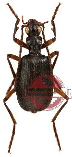Brachinus biguticeps (5 pcs A-, A2)