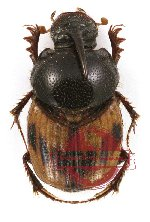 Onthophagus (s.str.) sp. 2 (5 pcs)