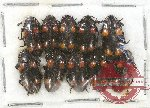 Scientific lot no. 48 Erotylidae (10 pcs)