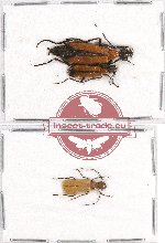 Scientific lot no. 10B Meloidae (3 pcs - 2 pcs A2)