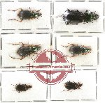 Scientific lot no. 275 Carabidae (6 pcs - 1 pc A2)