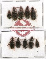 Scientific lot no. 276A Carabidae (10 pcs)