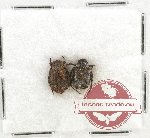 Scientific lot no. 27 Cetoniidae (Valgini) (2 pcs)