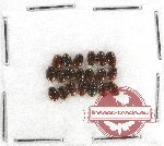 Scientific lot no. 1BB Staphylinidae (20 pcs)