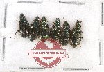 Scientific lot no. 270 Carabidae (6 pcs)