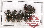 Scientific lot no. 51 Erotylidae (8 pcs)