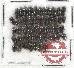 Elmidae sc. lot no. 15 (53 pcs)